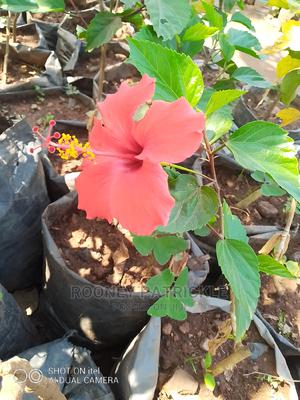 Hybrid Hibiscus Available | Garden for sale in Kampala