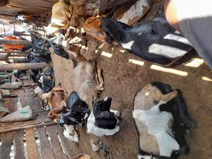 Goats for Eid Al-Adha   Livestock & Poultry for sale in Kampala