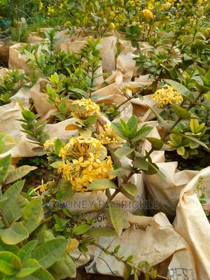 Arczora Yellow Hybrid | Garden for sale in Kampala