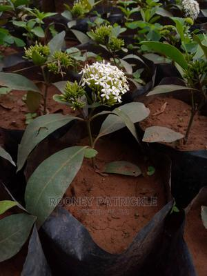 Arczora White Hybrid | Garden for sale in Kampala