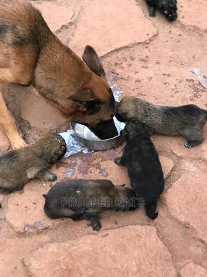 1-3 Month Male Purebred Belgian Malinois | Dogs & Puppies for sale in Kampala