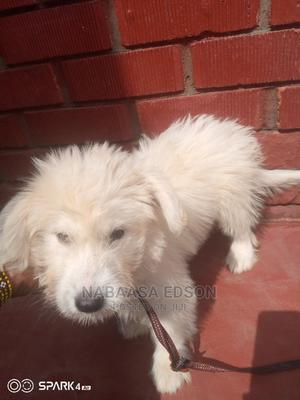 3-6 Month Female Purebred Maltese Shih Tzu   Dogs & Puppies for sale in Wakiso