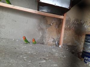Love Birds | Birds for sale in Kampala