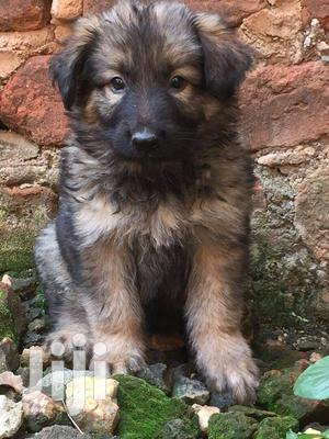 Young Female Purebred German Shepherd | Dogs & Puppies for sale in Kampala