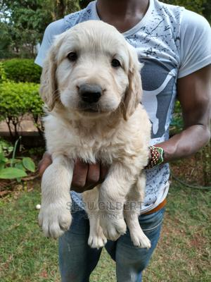 0-1 Month Male Purebred Golden Retriever | Dogs & Puppies for sale in Kampala