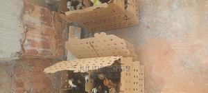 Hybrid Kroilas | Livestock & Poultry for sale in Wakiso