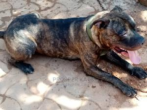 1+ Year Male Purebred American Pit Bull Terrier | Dogs & Puppies for sale in Kampala