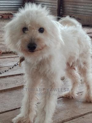1-3 Month Male Purebred Maltese | Dogs & Puppies for sale in Wakiso