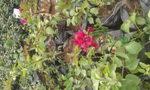 Boganvilia All the Types | Garden for sale in Kampala
