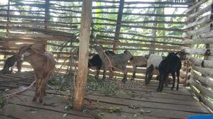 Goats Available for Sale   Livestock & Poultry for sale in Kampala