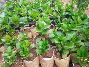 Hydrangeas Hybrid Available Now | Garden for sale in Kampala