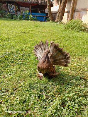 Exotic Pigeons on Sale | Birds for sale in Kampala