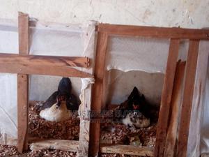 Muscovy Ducks | Birds for sale in Eastern Region, Busia