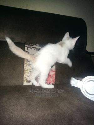 1-3 Month Male Mixed Breed Turkish Van | Cats & Kittens for sale in Wakiso, Kira