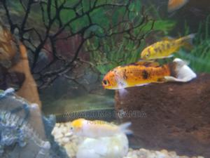 Colourful Fish | Fish for sale in Kampala, Central Division