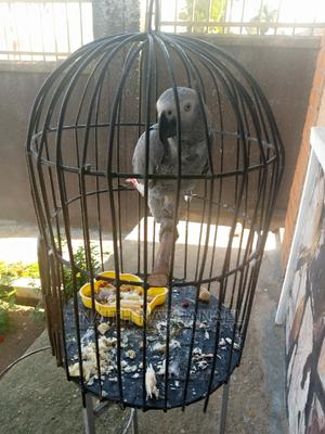 African Grey Parrot | Birds for sale in Kampala, Makindye