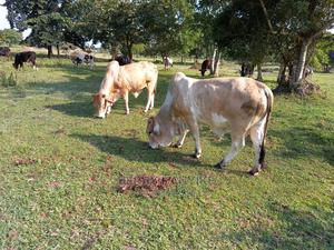 Bulls of All Types   Livestock & Poultry for sale in Kampala, Central Division