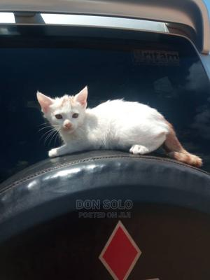 1-3 Month Female Purebred Ocicat | Cats & Kittens for sale in Kampala, Central Division