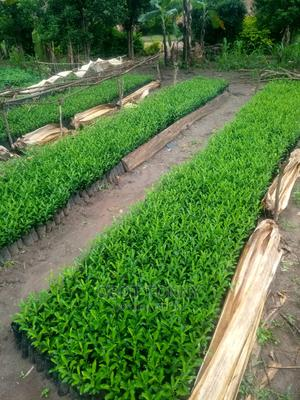 Orenges Seedlings | Feeds, Supplements & Seeds for sale in Nothern Region, Lira