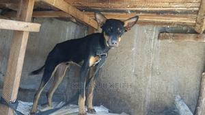 3-6 Month Male Mixed Breed Doberman Pinscher | Dogs & Puppies for sale in Wakiso, Nabweru