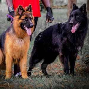 1+ Year Male Purebred German Shepherd | Dogs & Puppies for sale in Mukono, Goma
