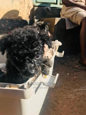 1-3 Month Male Mixed Breed Maltese   Dogs & Puppies for sale in Kampala, Central Division