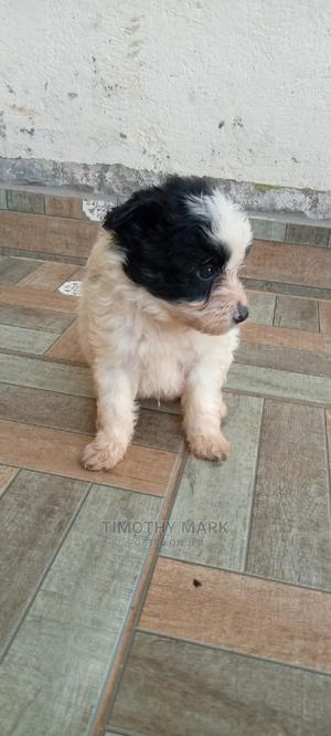 1-3 Month Male Mixed Breed Maltese   Dogs & Puppies for sale in Mukono, Mukono TC