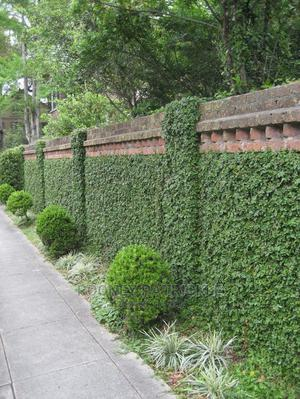 Wall Creepers Are Now Available | Garden for sale in Kampala, Central Division