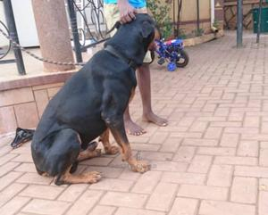 1-3 Month Male Purebred Doberman Pinscher | Dogs & Puppies for sale in Kampala, Central Division