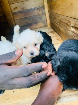 1-3 Month Male Purebred Maltese | Dogs & Puppies for sale in Kampala, Makindye