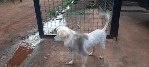 6-12 Month Male Purebred Maltese   Dogs & Puppies for sale in Eastern Region, Jinja