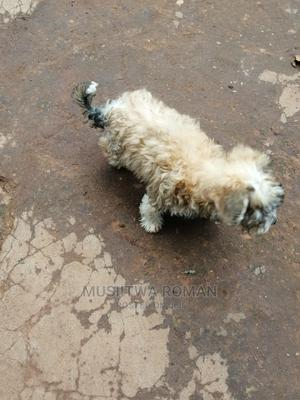 3-6 Month Male Purebred Maltese   Dogs & Puppies for sale in Wakiso, Kira