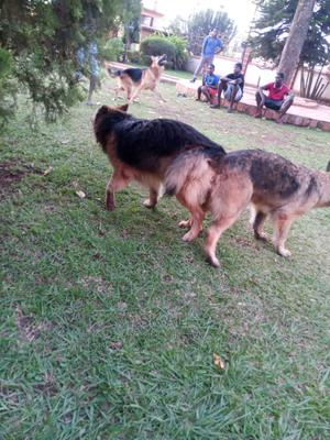 1-3 Month Male Purebred German Shepherd | Dogs & Puppies for sale in Kampala, Central Division