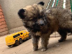 0-1 Month Male Purebred German Shepherd | Dogs & Puppies for sale in Kampala, Central Division