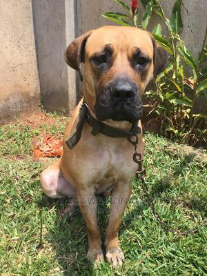 6-12 Month Male Purebred Boerboel | Dogs & Puppies for sale in Kampala, Central Division