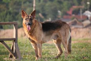6-12 Month Male Purebred German Shepherd | Dogs & Puppies for sale in Kampala, Central Division
