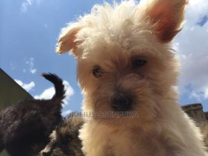 1-3 Month Female Purebred Maltese   Dogs & Puppies for sale in Kampala, Central Division