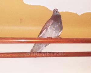 Danz Muda Pigeon Farm | Birds for sale in Wakiso, Ssabagabo-Makindye