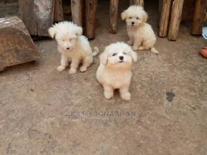 1-3 Month Female Purebred Maltese   Dogs & Puppies for sale in Wakiso, Kira