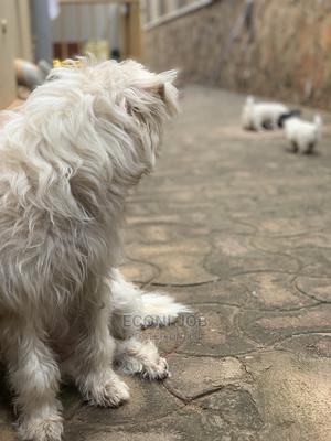 0-1 Month Male Mixed Breed Maltese | Dogs & Puppies for sale in Kampala, Central Division