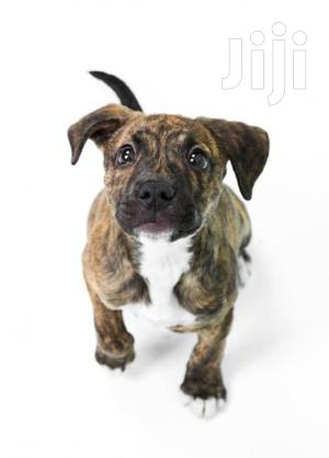 American Terrier Pitbull Puppies | Dogs & Puppies for sale in Kampala