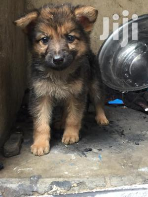1-3 Month Male Mixed Breed German Shepherd | Dogs & Puppies for sale in Kayunga