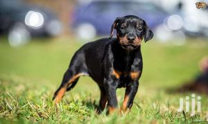 Dobberman Active Puppies | Dogs & Puppies for sale in Kampala